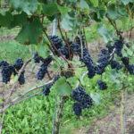 De Wijnmakers Regent