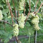 De Wijnmakers Johanniter